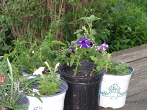 Potted petunias are blooming.