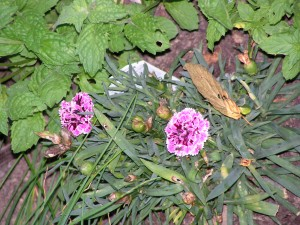 Carnations are blooming in the septic garden.