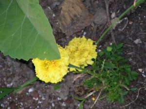 The marigolds are blooming in the septic garden.