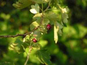 Gold currants are ripening.