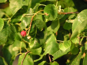Serviceberries are ripening.
