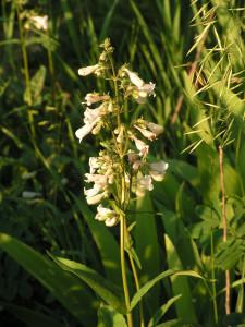 White penstemon is blooming in the wildflower garden.