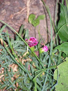 The dark pink carnation has regrown its flowers.