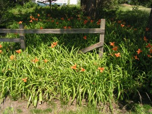 The daylilies are in full bloom.