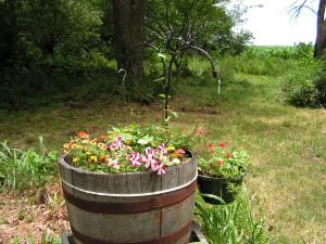 Here is the barrel garden.