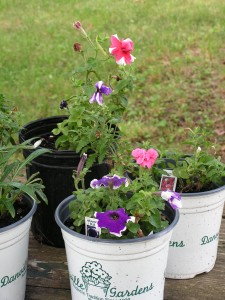 Petunias are blooming.