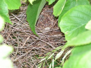 This cardinal nest is in the hazelnut bush in the savanna.