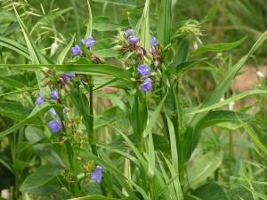 Purple spiderwort is blooming.