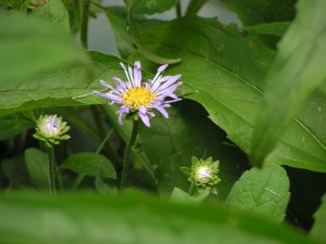 This aster is blooming in the wildflower garden.