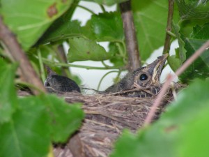 These baby robins are in Home Base.