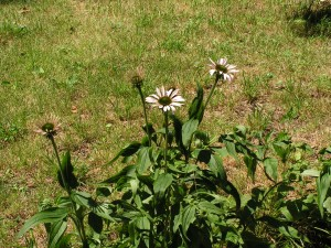 Echinacea is beginning to bloom beside the barrel garden.