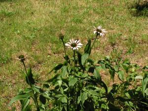 Echinacea is beginning to bloom beside the barrel garden.