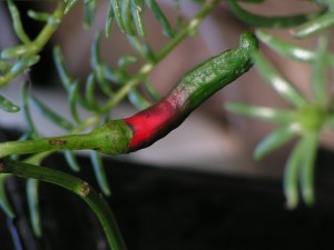 This pepper is starting to ripen.