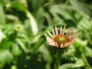 Echinacea is beginning to bloom in the wildflower garden.
