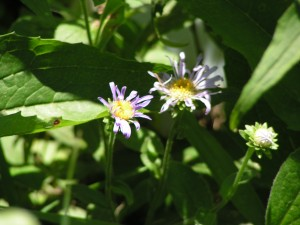 Asters are blooming in the wildflower garden.