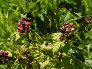 Black raspberries are ripe.
