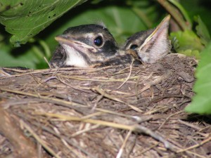 These are baby robins.
