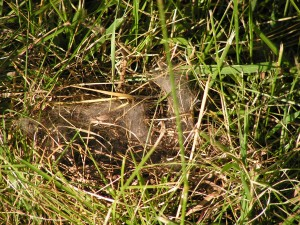 This is a closeup of the rabbit nest.