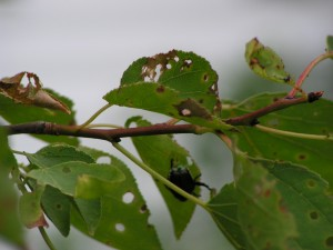 Japanese beetles are munching on the Manchurian apricot.