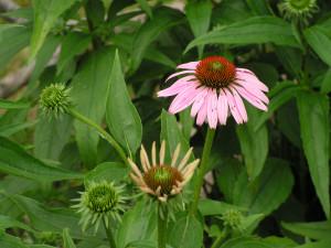 Echinacea is blooming in the wildflower garden.