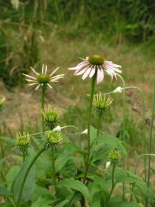 This echinacea is mixed with prairie onions.