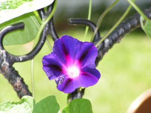 Morning glories are blooming.