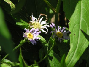 Asters are blooming.