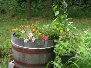 The barrel garden is blooming.