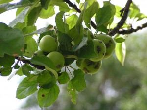 These green apples are growing on the birdgift tree.