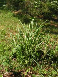This tall grass makes grain in autumn.