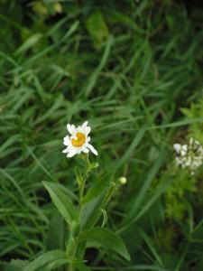 The shasta daisies have begun to bloom in the white garden.