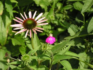 Echinacea and rose campion are blooming.
