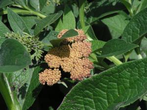 Yarrow flowerheads are turning brown.