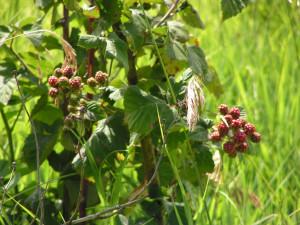 Blackberries are turning pink.