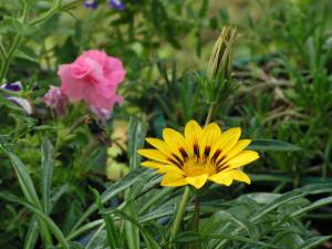 The yellow flower is gazania.