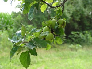 These green apples are on the birdgift tree.