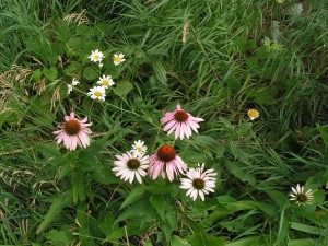 Shasta daisy and echinacea are blooming in the white garden.