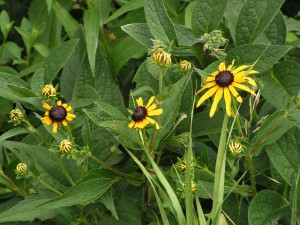 Black-eyed Susan is blooming in the wildflower garden.