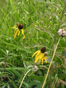 These yellow coneflowers are blooming in the wildflower garden.