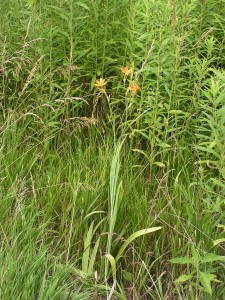 These blackberry lilies are blooming toward the west edge of the prairie garden.