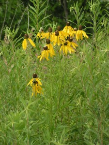 These yellow coneflowers are blooming near the west edge of the prairie garden.