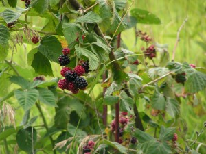 Blackberries are ripening.