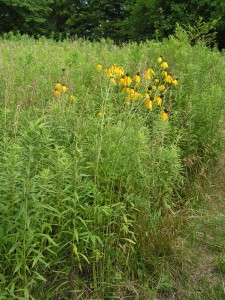 This is a bigger stand of yellow coneflowers near the middle of the prairie garden.