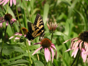 This tiger swallowtail is feeding beside the barrel garden.