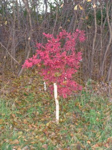 The Japanese maple is red in fall.