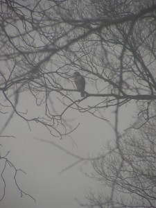 This hawk perched in a tree on the east edge of our yard, overlooking the hopper feeder.