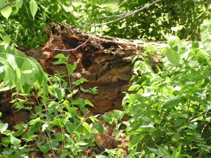 Here is a closer view of the fallen log from the stump end.