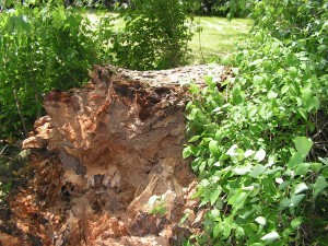 This is the broken end of the base above the remains of the stump.