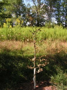 This is the tricolor beech sapling at the edge of the savanna.