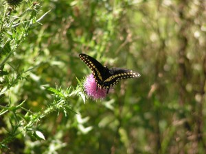 Here's a great spread of the male black swallowtail.